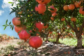 Außergewöhnlich Granatapfel Frucht, Anbau & Ernte @PZ_35